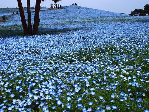 park plant flower tourism nature spring scenery hill olympus tourist touristspot floweringplant babyblueeyes nemophila f4056 国営ひたち海浜公園 ネモフィラ みはらしの丘 micro43 microfourthirds mzuikodigital14150mmf4056 olympuspenep3 m14150mm