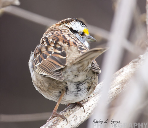 White-throated Sparrow by Ricky L. Jones Photography