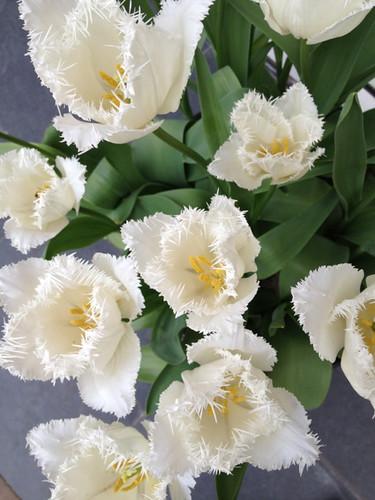 Keukenhof - frilled white tulipss