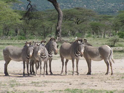 Inticately Striped Grevy Zebras
