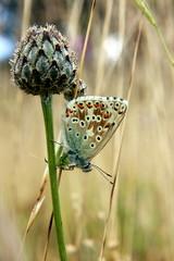 HolderChalkhill Blue (Polyommatus coridon)