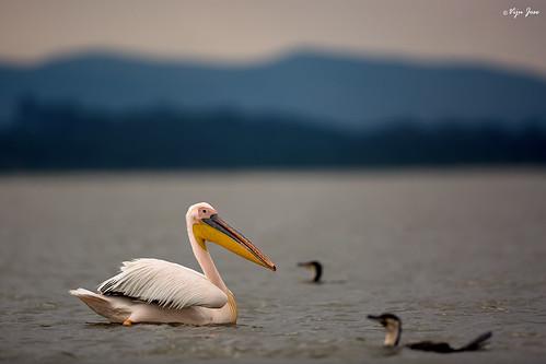 africa travel sunset lake nature birds kenya dusk wildlife pelican safari ke canon5d cormorant nakuru waders 2016 lakenaivasha karagita ef500mmf4lisii vijujose