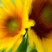 sunflower blur-9382 by Rodney Preisch