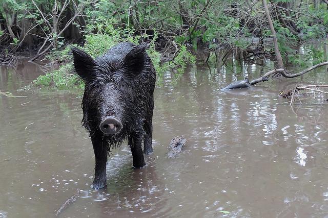Slidell - Feral Hog