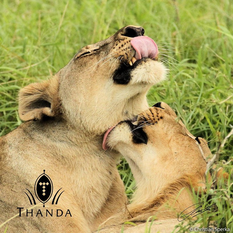 Read up on Panthera's lion conservation work across Africa @ bit.ly/YbMRFx & our work in the Phinda Game Reserve, bordering Thanda, to preserve the region's leopard populations @ bit.ly/102QFt8