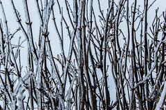 Branches prisonnières de la glace