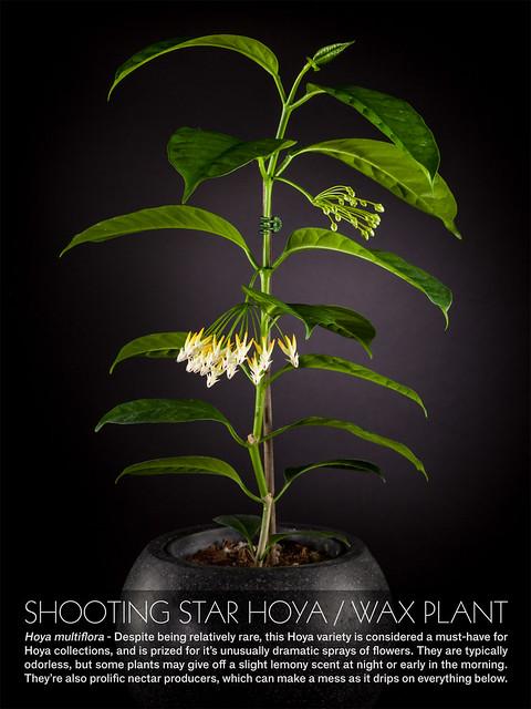 Shooting Star Hoya - Wax Plant