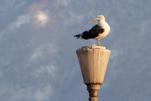 Seagull on lamp