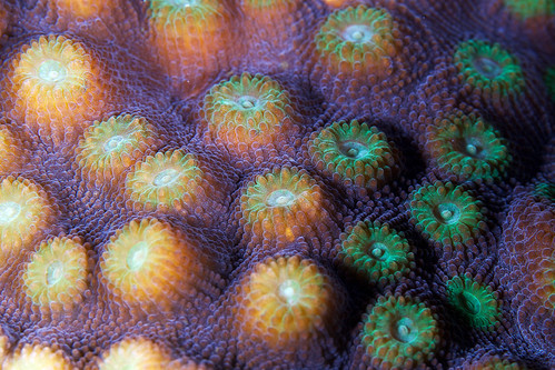 Red Sea Coral 13a
