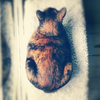 Loafing Molly #catsofinstagram #cat #tortie