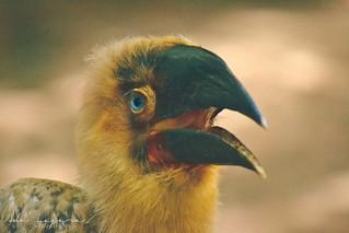 Baby hornbill
