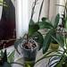 Phalaenopsis con boccioli