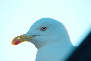 Gråtrut / European Herring Gull