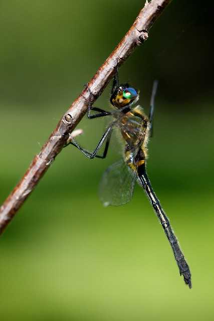 A Racket-Tailed Emerald dragonfly (Dorocordulia libera) at Murphy-Hanrehan Park Reserve.