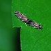 Small photo of Concealer Moths (Oecophoridae) mating