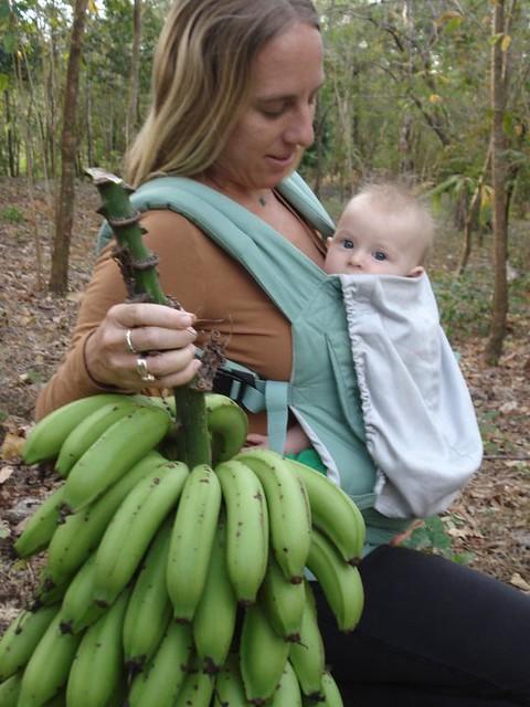 Harvesting a rack of bananas