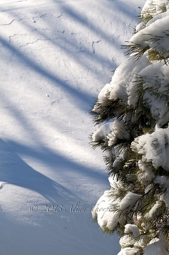 snowy branches by Alida's Photos