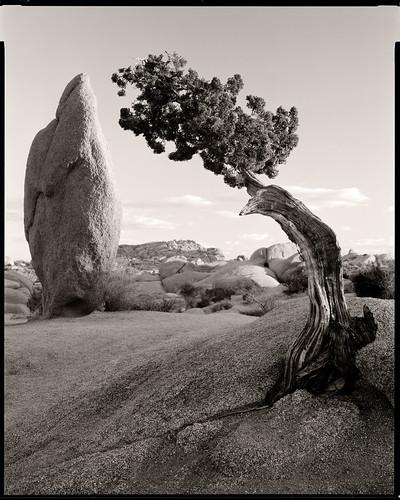 bw 8x10 monolith ebony juniper joshuatreenationalpark rodenstock arista aristaultraedu100 kodaktmaxrs rw810 gitzogt5541ls junipermonolith