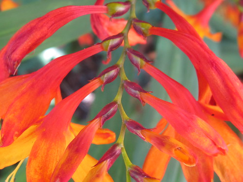 Fiery Red Plant