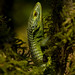 Smith's Arboreal Alligator Lizard - Photo (c) Elí García Padilla, all rights reserved