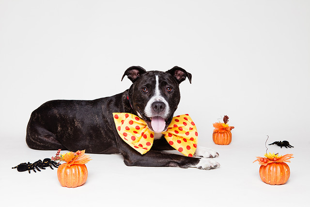 Pit Bull Dog with Halloween Decorations