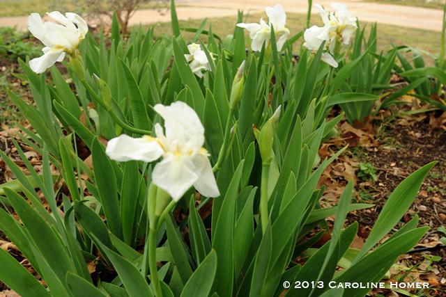 cemetery irises