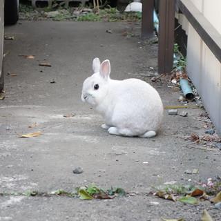 近所のウサギ、もこちゃん。たまに脱走して、うちの庭に遊びに来る。