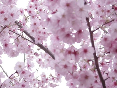 Sakura bloom in Tokyo 10