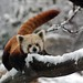 Red Panda in the Snow by Smithsonian's National Zoo