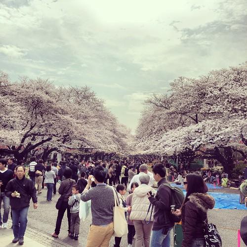 Tokyo's Ueno Park Cherry Blossoms