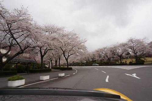 冨士霊園桜並木_DSC02739