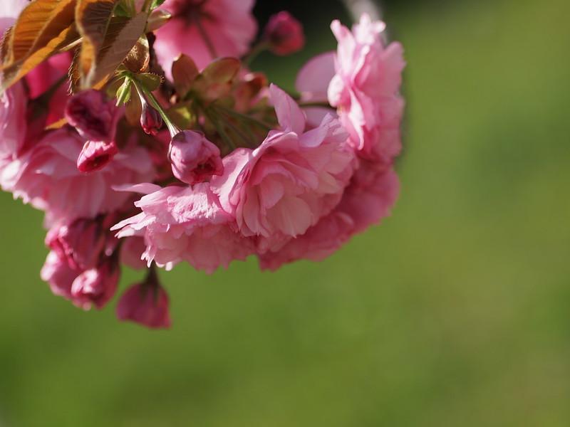 Yaezakura, 八重桜