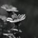 Chrysanthemum Coronarium in monochrome  by John Hind