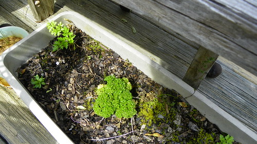 Wintered over parsley