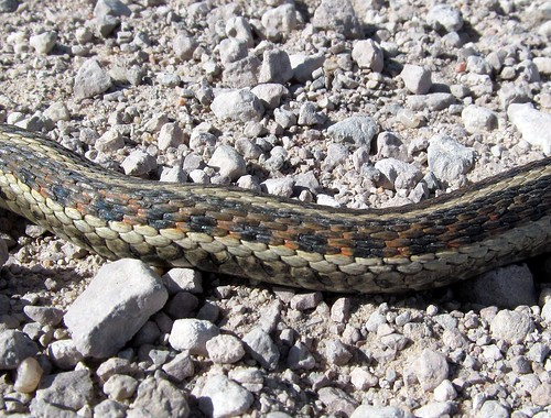 Thamnophis Sirtalis Common Garter Snake 1 More Below