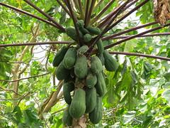 papaya, fruit,
