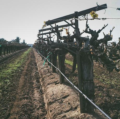 california color 120 6x6 tlr nature analog mediumformat landscape photography vines kodak farm farming grapes agriculture yashica centralvalley grapevines yashicamat yashicamat124 kodakportra
