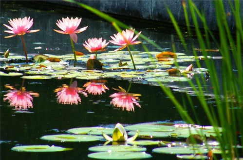 8 Waterlilies