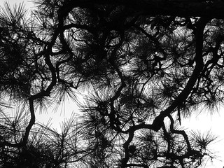 Pine branches at dusk