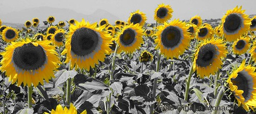 girasoli height=