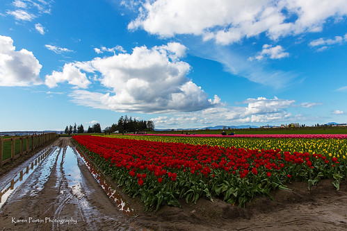 reflection clouds fence tulips skagitvalley tuliptown