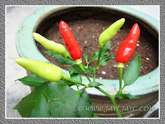 Capsicum frutescens (Tabasco Pepper, Chili/Chilli Padi) at our backyard, March 22 2013