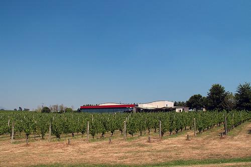 Oakridge vines