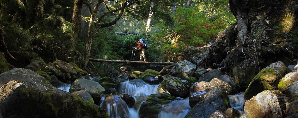 Balancing over fallen trees, Virgin Patagonian Lenga Forrest, Nahuel Huapi National Park, Argentina