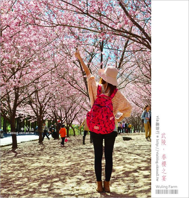 【武陵農場】武陵櫻花2013‧via賞櫻記(1)超美櫻花林~生態園區櫻花林!
