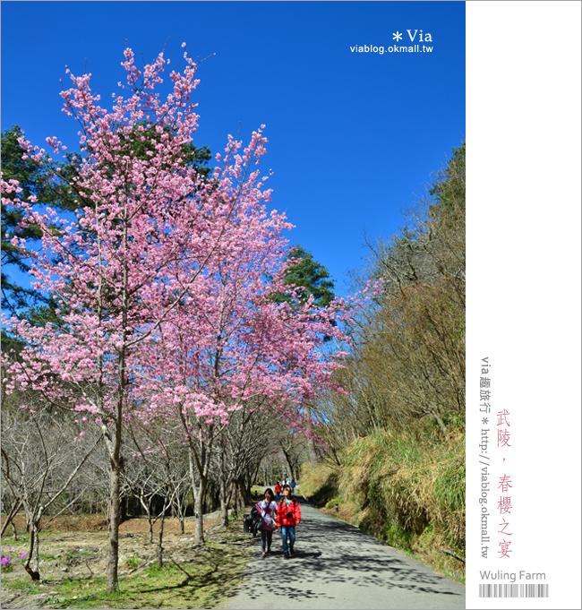 【武陵櫻花】via賞櫻記(2)武陵茶莊、武陵茶園櫻花盛開篇
