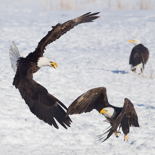 eagle attack - photo #5