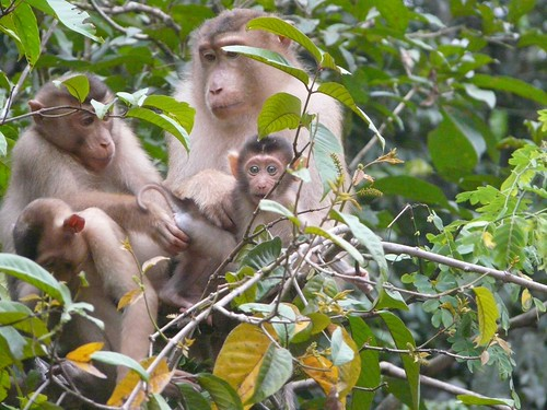 Family of Macaque Monkeys in Kinabatangan
