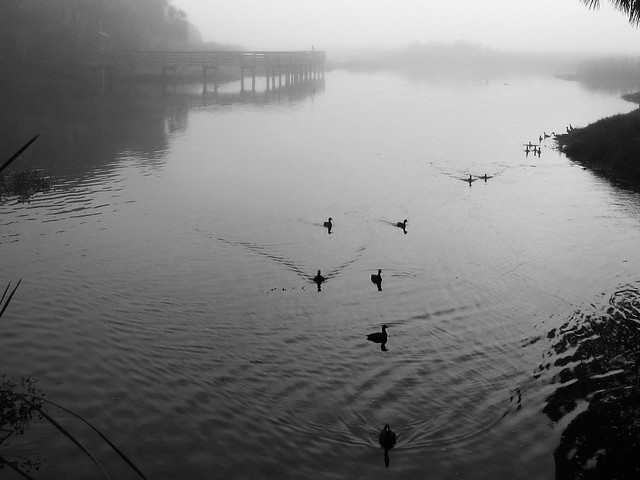 coots in the mist