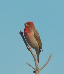 animal, perching bird, branch, fauna, house finch, beak, bird, wildlife,
